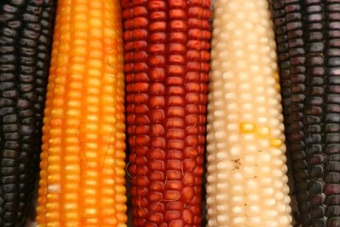 Inclusive - diversidade - três espigas de milho coloridas, três cores diferentes.